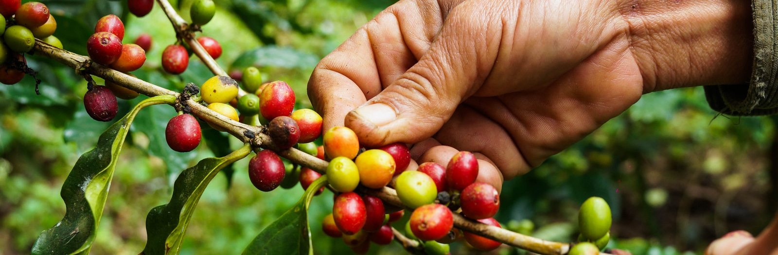 Fairtrade Coffee and What it Really Means